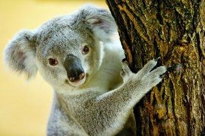 Un koala parcours 90 km accroché à une voiture !!!