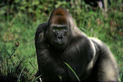 Les gorilles communiqueraient par l'odeur