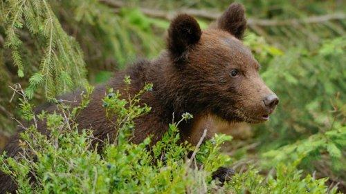Un entraîneur canin dressera un grizzly sauvage
