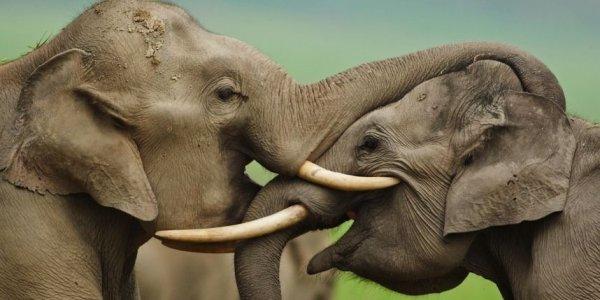 Des éléphants accros à l'héroïne (drogue) !!!