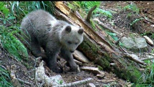 Une oursonne retourne à la vie sauvage