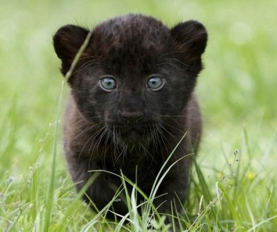 Sortie de 3 bébés panthères noires