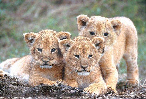 Naissance de 3 lionceaux d'Asie