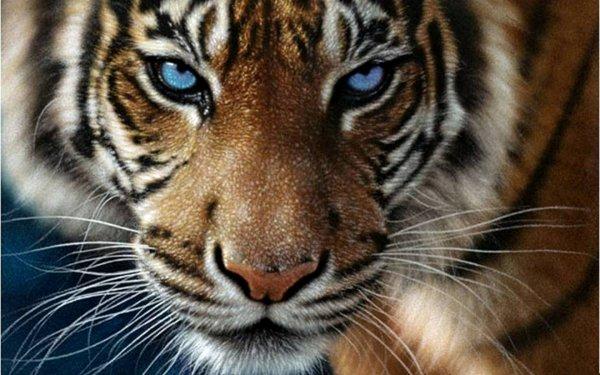 Rien qu'aux Etats-Unis, Il y a plus de tigre en captivités qu'en liberté dans le monde !