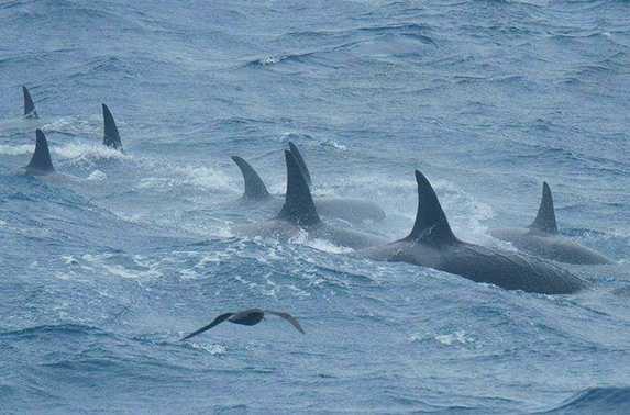 Des orques très rares ont étés filmés