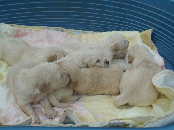 Nos adorables bébés - 5 mâles & 1 femelle- LOF