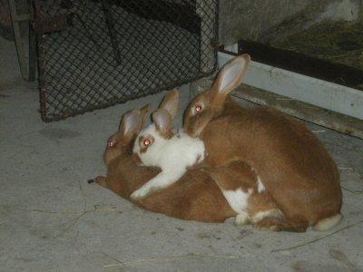 nos 3 lapins coquain