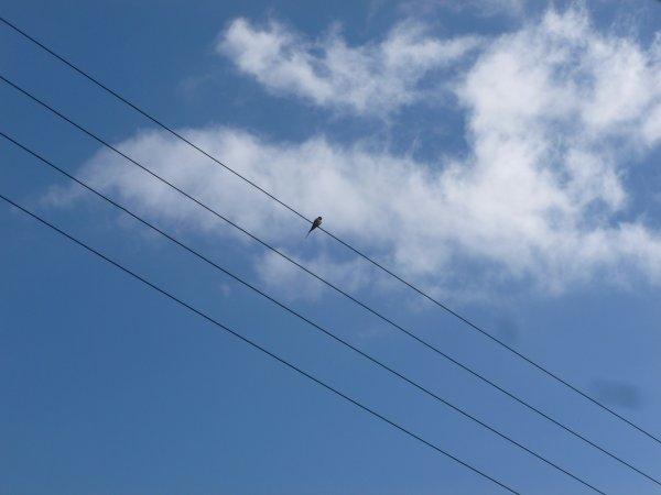 CORAY  :Arrivée des premières hirondelles !!!