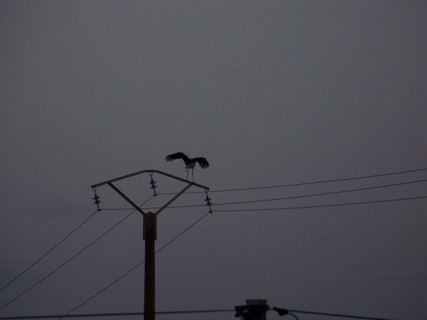 CORAY  : Passage de cigognes.
