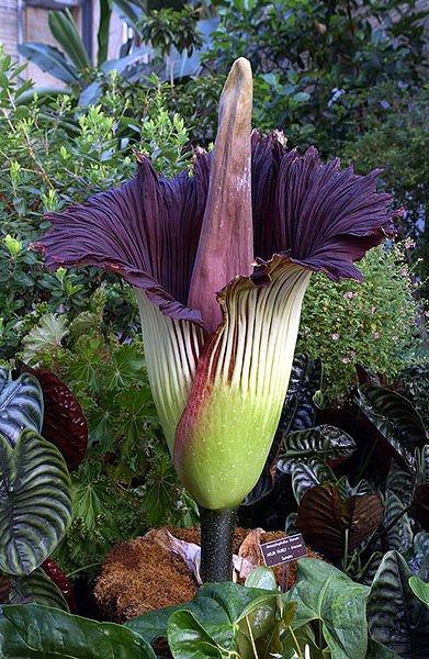 La plus grande fleur du monde  ; Arum titan épanoui au jardin botanique de Stuttgart