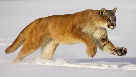 cougar blog wohlen