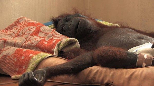 «Green» ou la réalité d'un cauchemar vue à travers les yeux d'un orang-outan