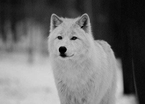 Qui a peur du loup ?