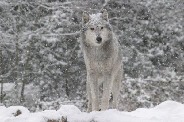 Les attaques de loups