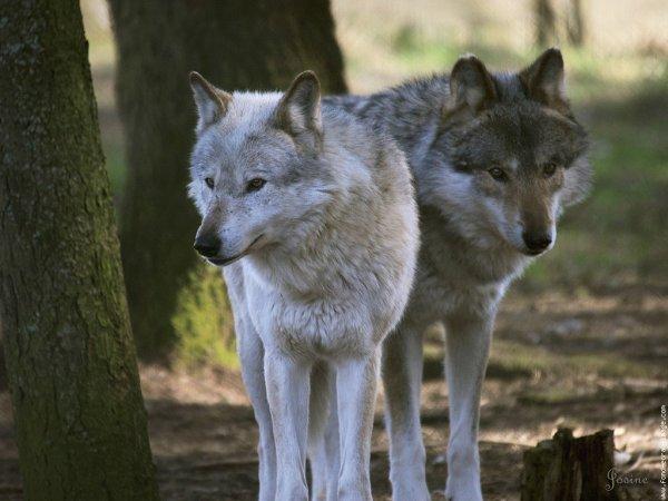 Grand sondage ! Vous & les Loups