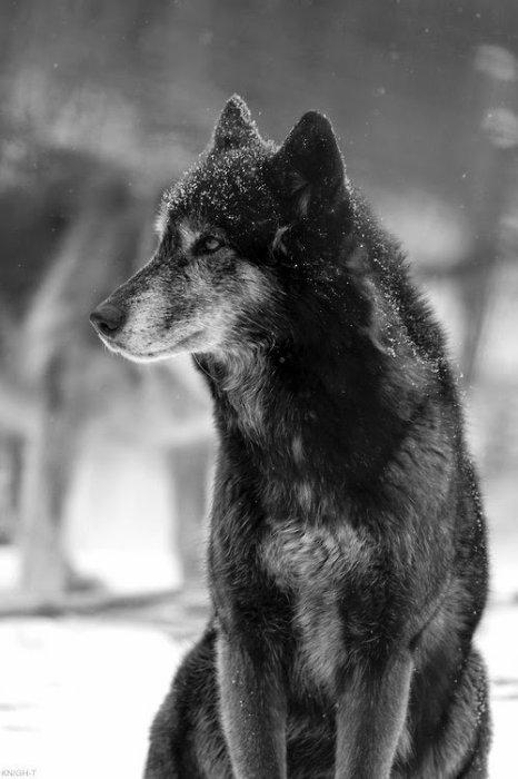 Dans la vie des Loups...♥