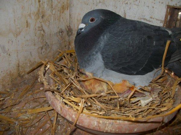 pigeonneaux 2012