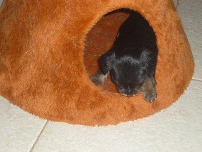 Foxie bébé