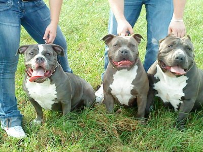 Tazia of Bullydogstyle & Ealy and Snoop of Pitbrutus Belgium