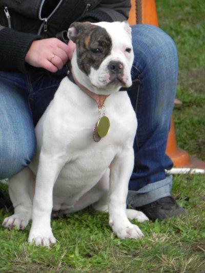 Double Face femelle american bulldog 6 mois fille de Megabulls Fifty a vendre 1000Euros !!!