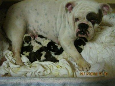 Bébé Bulldog dispo debut mars