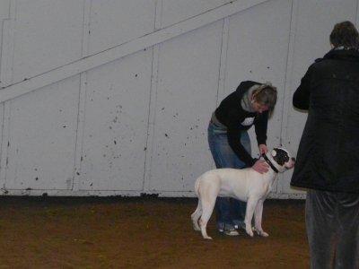 TARA 1 ere , classe femelle type bully 6 à 9 mois !!!SHOW DE ASSENDELFT HOLLAND