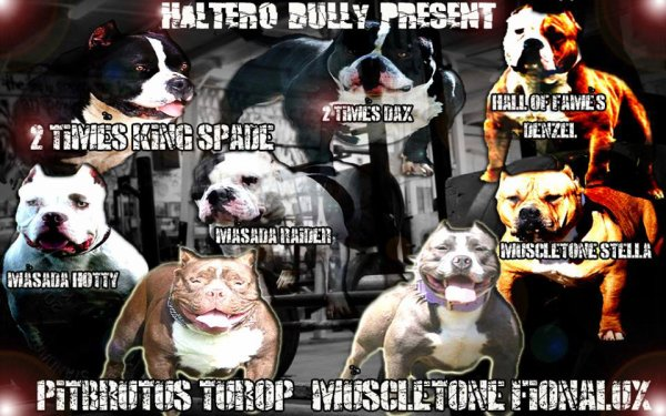 PITBRUTUS  X MUSCLETONE FIONALUX OF HALTERO BULLY