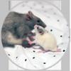 Rattus-norvegicus