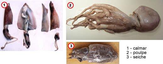 Calmar, pieuvre et seiche