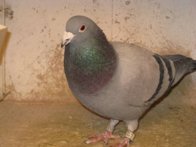 Quelques top pigeons