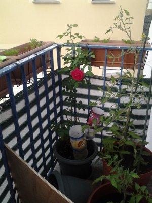 Trop belle notre premier rose