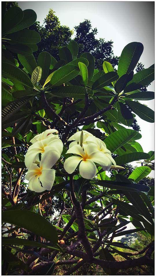 Frangipanier merveille des tropiques