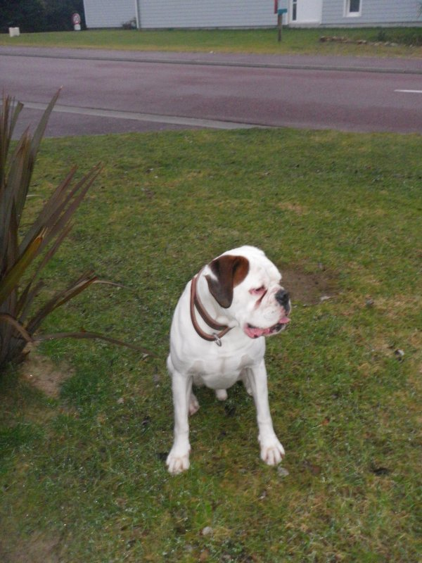 voila depui le 27 /12/2010 j ai eu un nouveaux boxer blanc qui s appel cracker jack