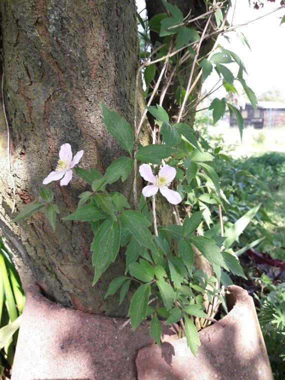 Toute première  fleurs de à clematite