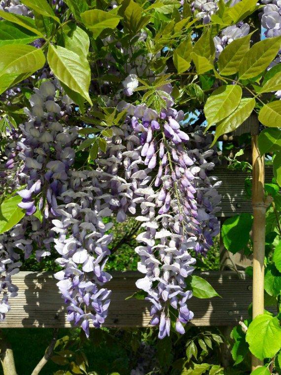 Cette année la glycine  n à pas gelée  et l après midi son parfum  ambaume  la terrasse