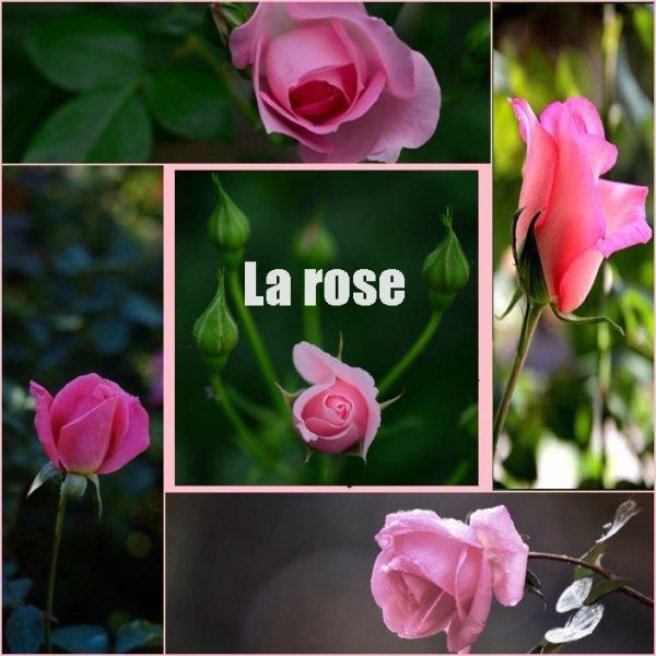 la rose du matin