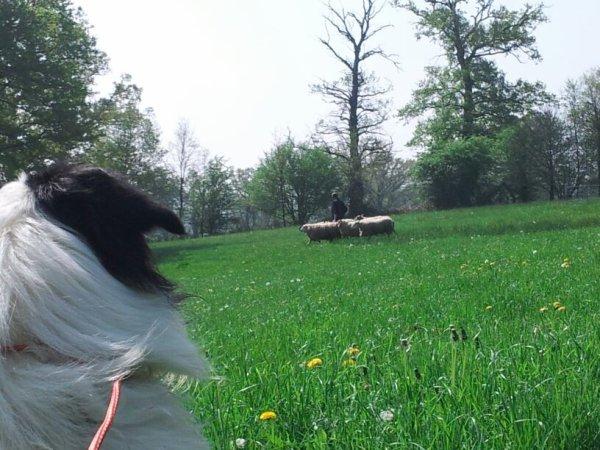 Mon ptit lou au mouton