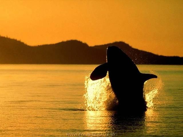 l'orque le plus bel animal