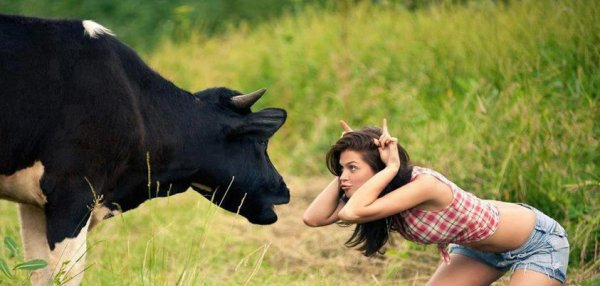 vache contre vache lol