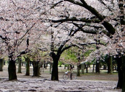 La Fleur de Cerisier étoile du printemps