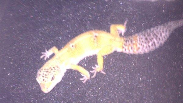 gecko léopard mal   2      gre