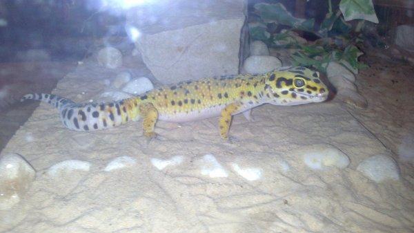gecko léopard mal