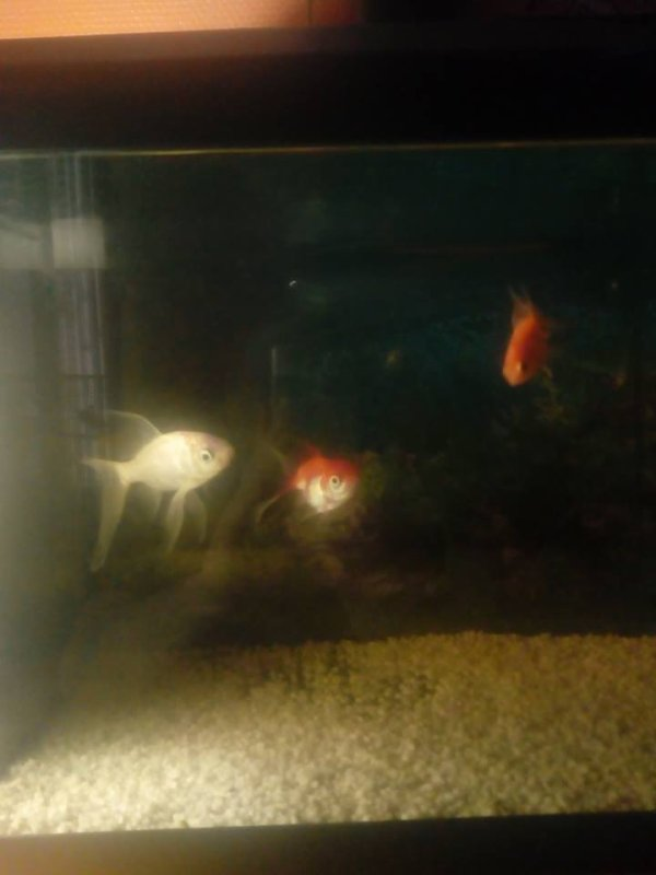 mes poissons rouge