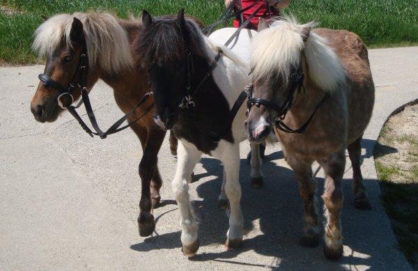 ♥ Mes amours de poneys! ♥
