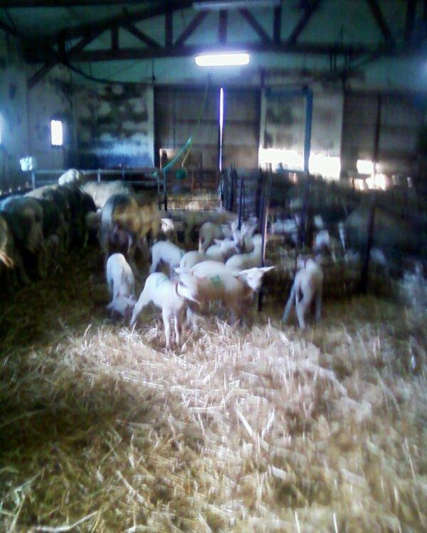 Le larzac terre d'élevage....