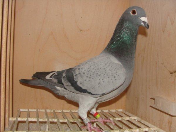 3ème as pigeon 1 an sous groupement de Dunkerque