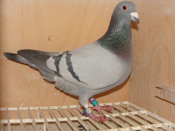 A vendre As pigeon demi-fond 1 an en 2013 au sous-groupement de Dunkerque