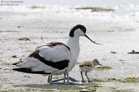 Les oiseaux mazoutés de la Loire