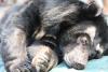 14 Ours élevés pour leur bile libérés de l'enfer grâce à ANIMALS ASIA