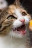 Mon chat n'arrête pas de miauler pourquoi?